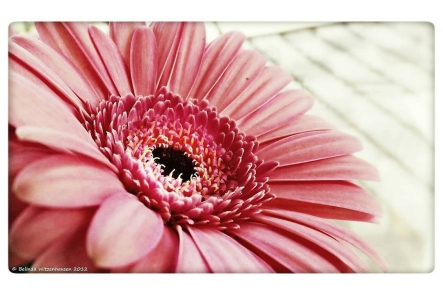 Pink Gerber Daisy